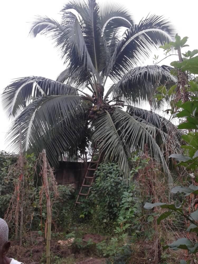 Palma kokosowa. Zajebiście, prawda? Mieć własną palmę kokosową ;)