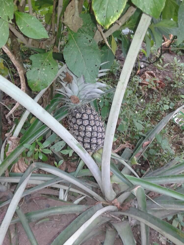Jeśli ktoś nie grał w Farmville, to to jest ten moment - tak rosną ananasy!
